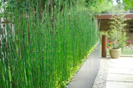 Horsetail reeds provide a natural privacy fence privacy fence Modern Privacy Fence Ideas for Your Outdoor Space Horsetail reeds provide a natural privacy fence 270x180