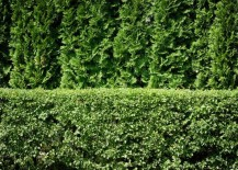 Privacy-fence-created-with-Arborvitae-217x155