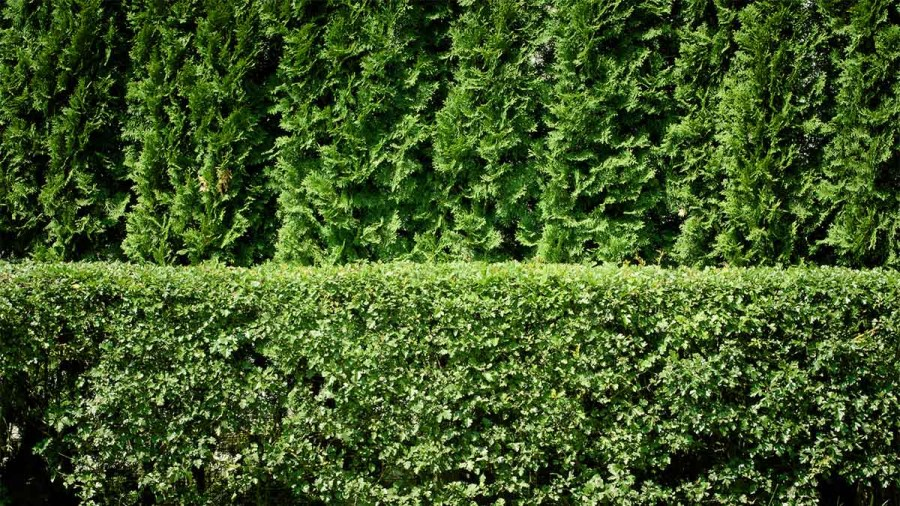 10 privacy plants for screening your yard in style for How to plant bushes in front of house