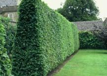 Privet-creates-a-lush-wall-of-greenery-217x155