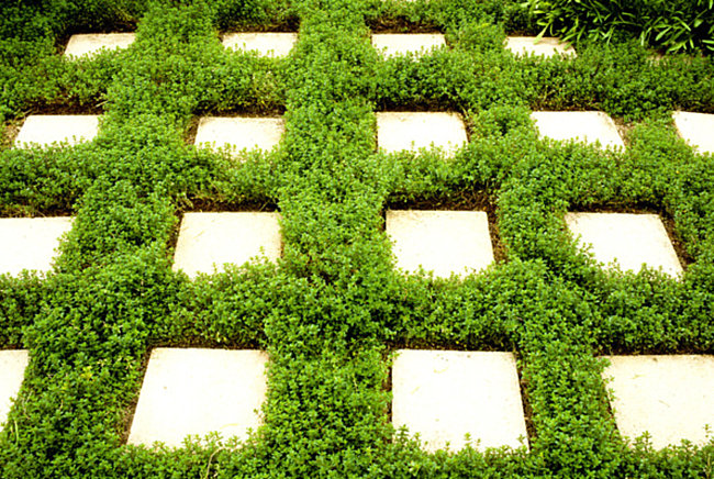 Square pavers and thyme create a modern green look