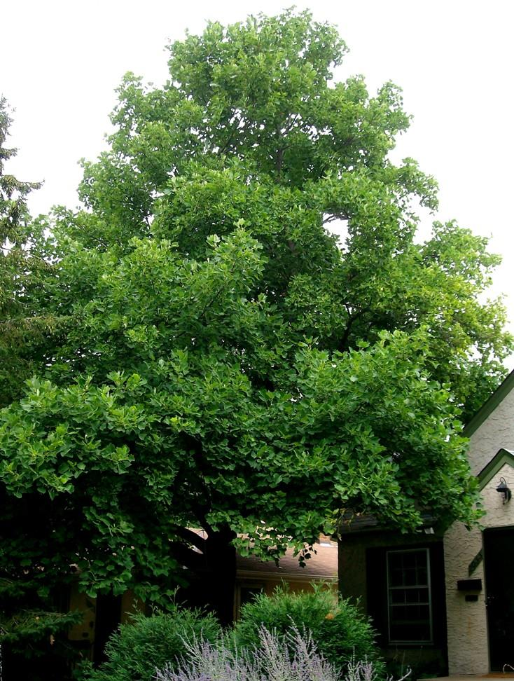 Tall Tulip Tree in a front yard