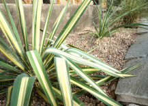 Color Guard Yucca in a graveled yard