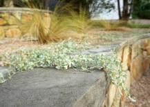 Silver falls dichondra in a graveled terraced yard-001