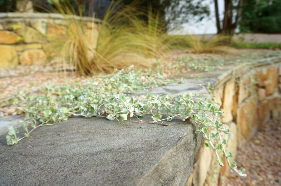 Silver falls dichondra in a graveled terraced yard-001