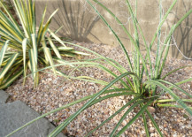 Yucca in a terraced yard