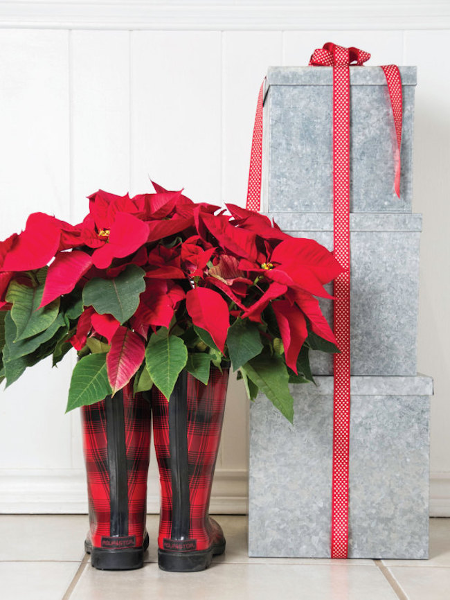 Poinsettias displayed in red boots
