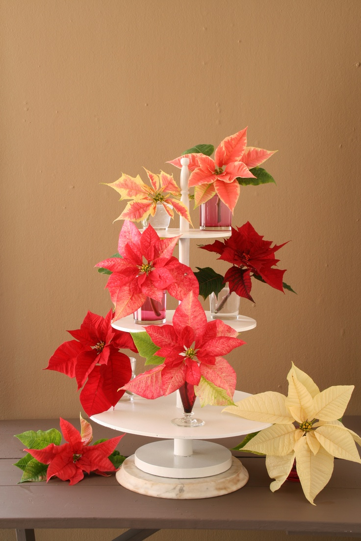 Poinsettias in different shades displayed on a tiered tray