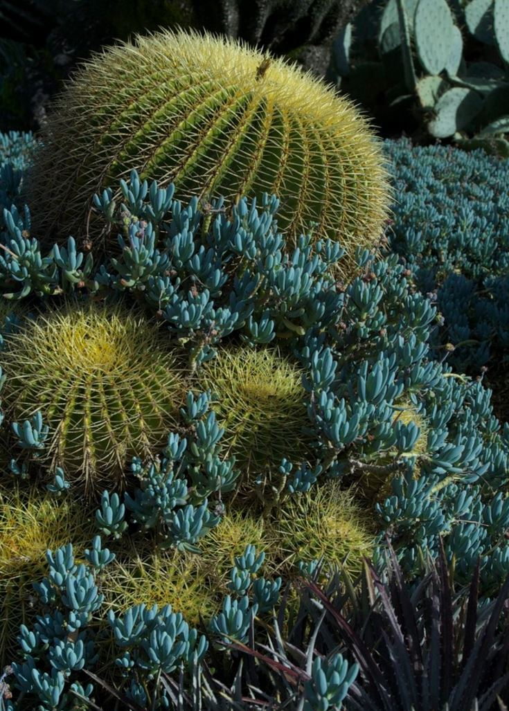 Barrel cactus mixed with blue-green succulents