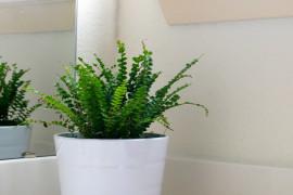 Button fern in a white bathroom