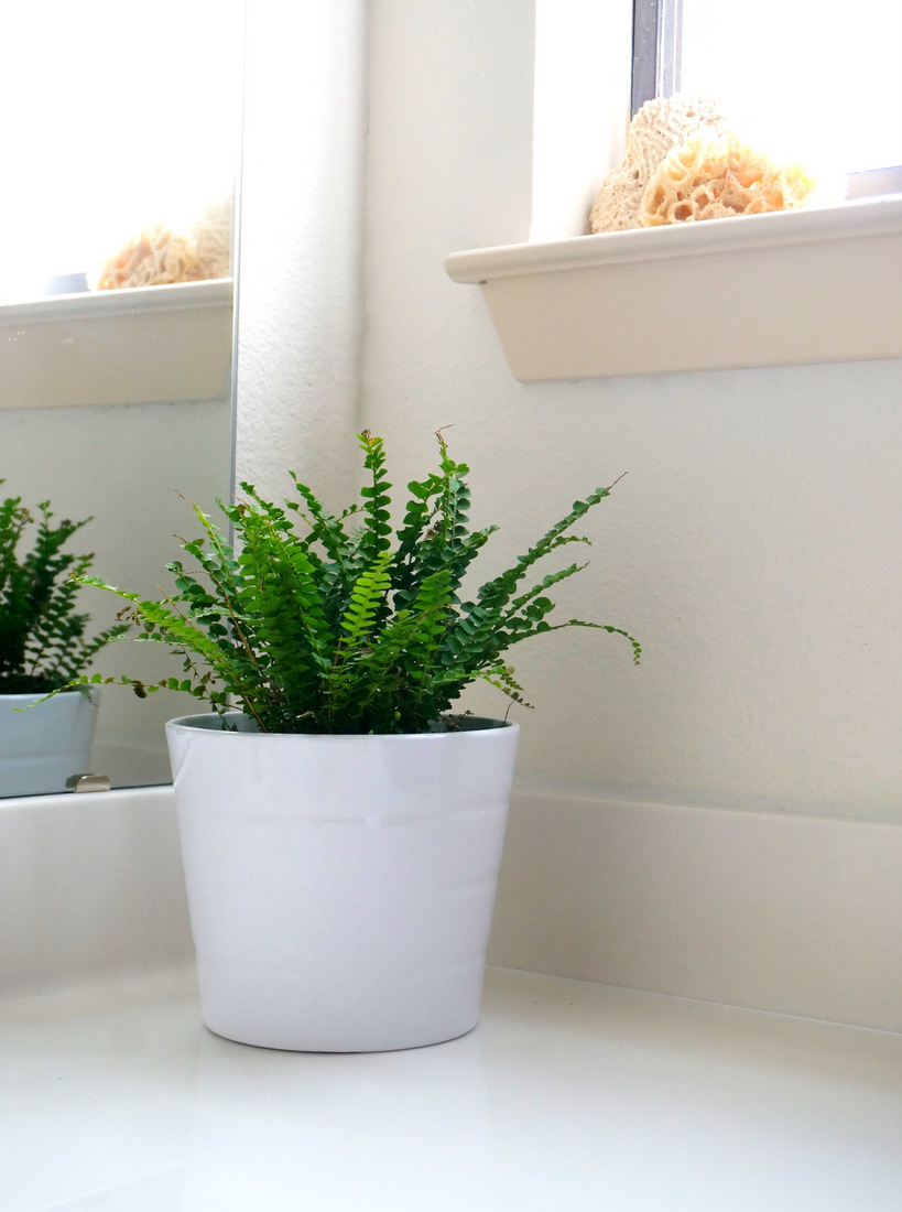 Button fern in a white bathroom