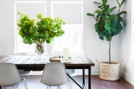 Fiddle leaf fig in the studio of Camille Styles
