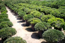 Rows of pittosporum
