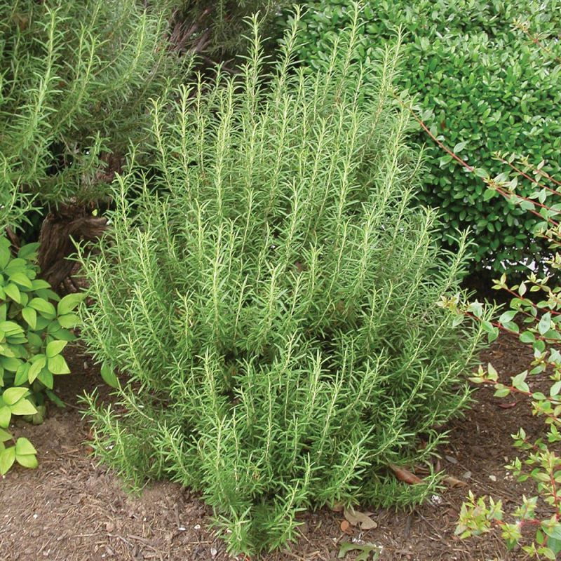 Upright rosemary thriving in a garden