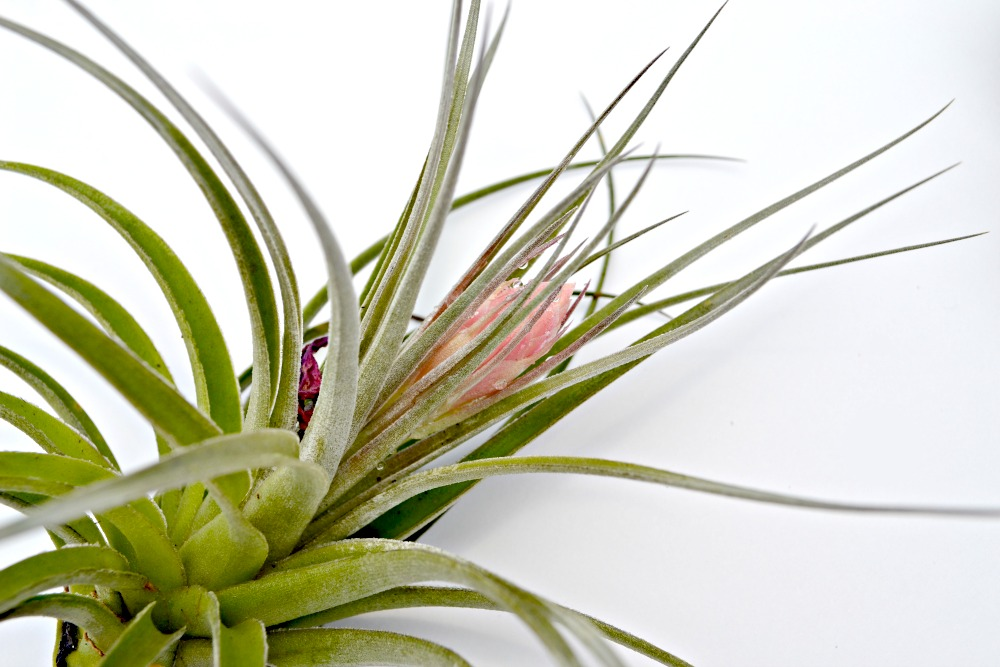how to care for air plants. Black Bedroom Furniture Sets. Home Design Ideas