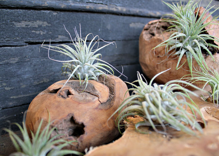 Air plants can survive in outdoor indirect light