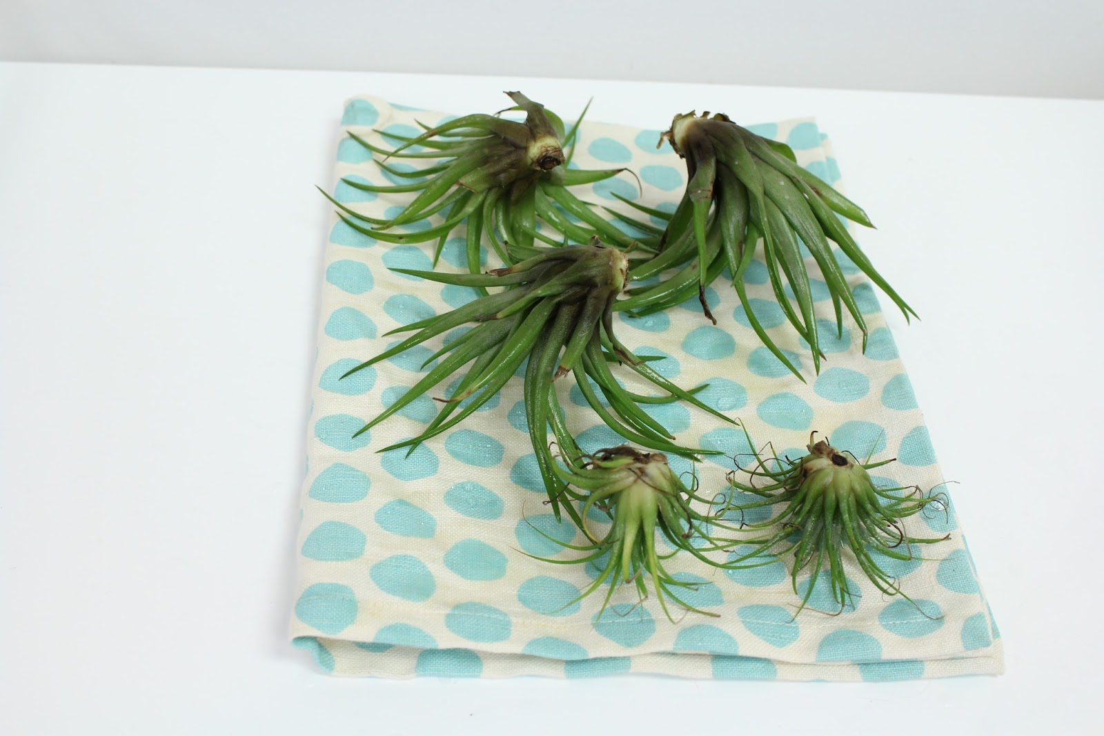 Air plants drying out