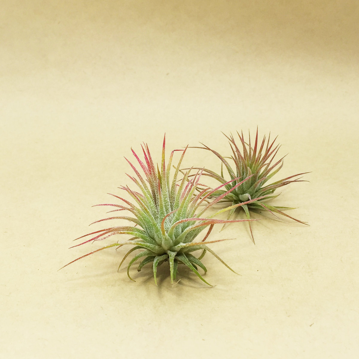 Air plants from Etsy shop Hello Concrete
