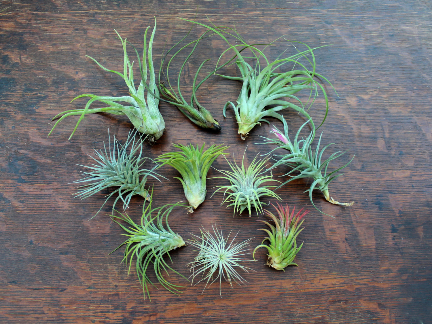 Assortment of air plants from Etsy shop Air Plant Design Studio