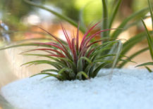 Ionantha-Guatemala-air-plant-with-a-red-center-217x155
