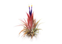 Ionantha-Guatemala-from-Etsy-shop-Air-Plant-217x155