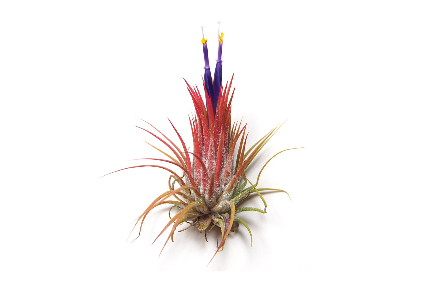 Ionantha Guatemala from Etsy shop Air Plant Design Center