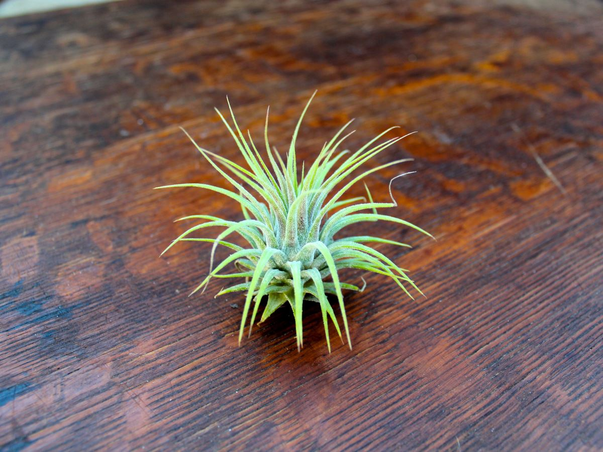Ionantha Guatemala in its green state