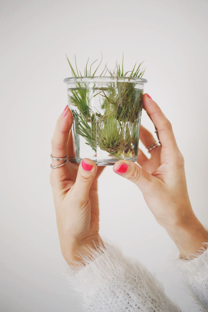 Soaking air plants keeps them supplied with water