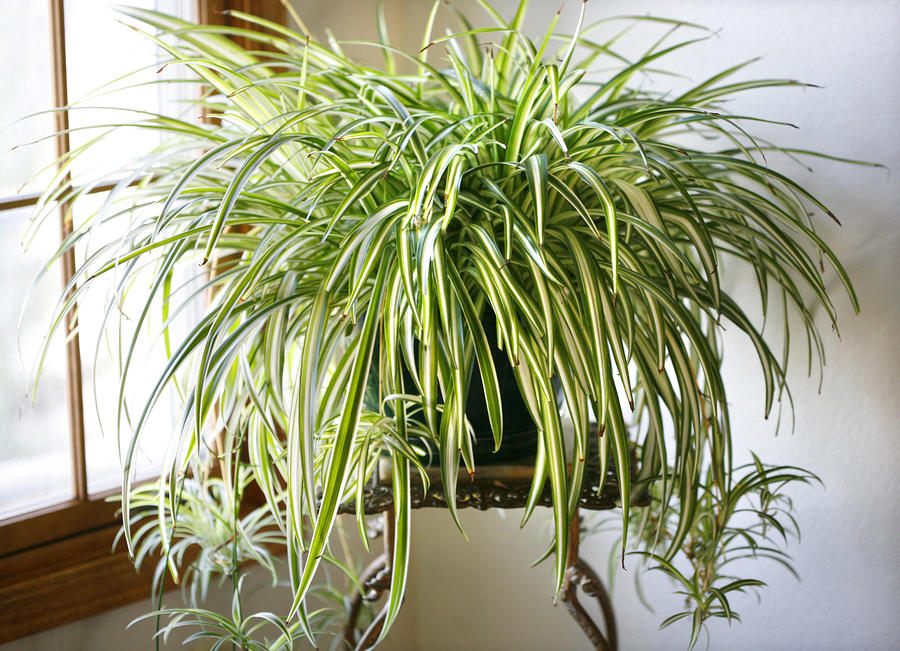 Image result for potted spider plant pic