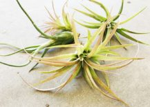 Trio of air plants 217x155 How to Care for Air Plants