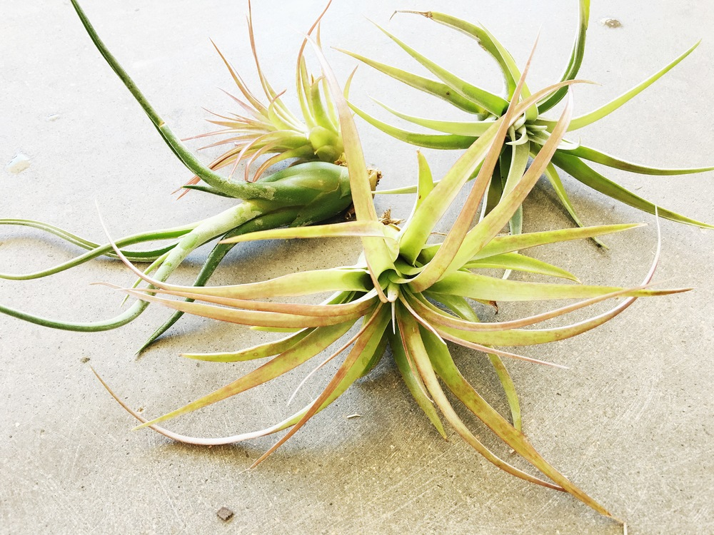 Trio of air plants
