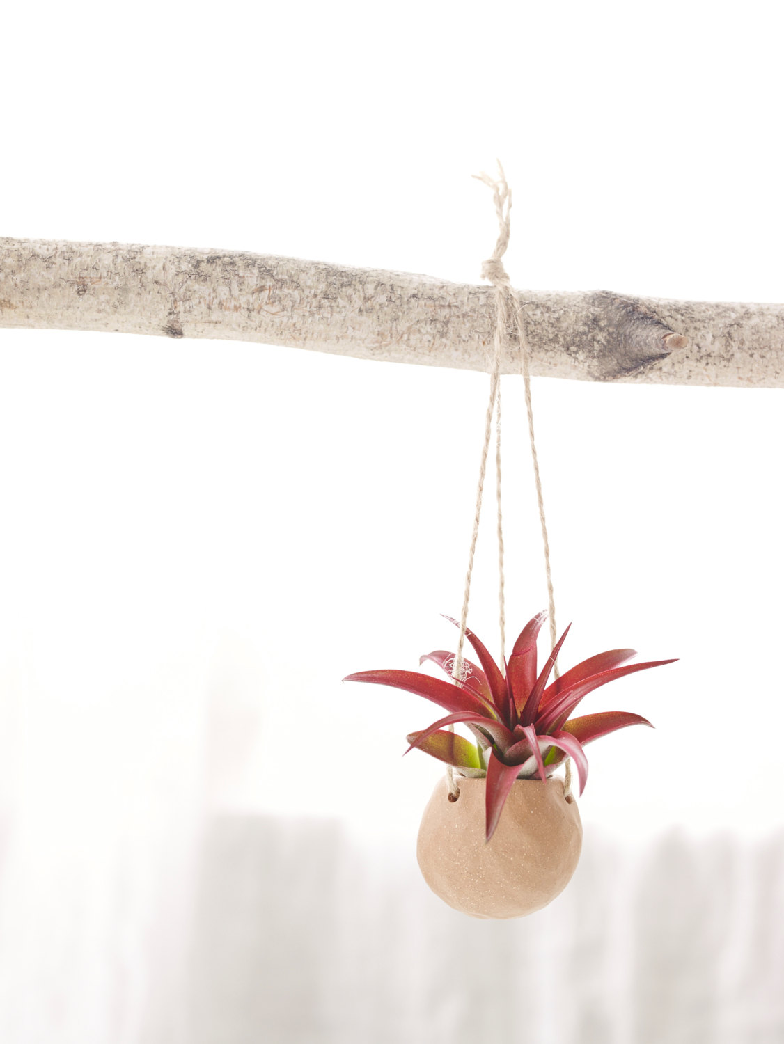 Abdita air plant from Etsy shop Cor Pottery
