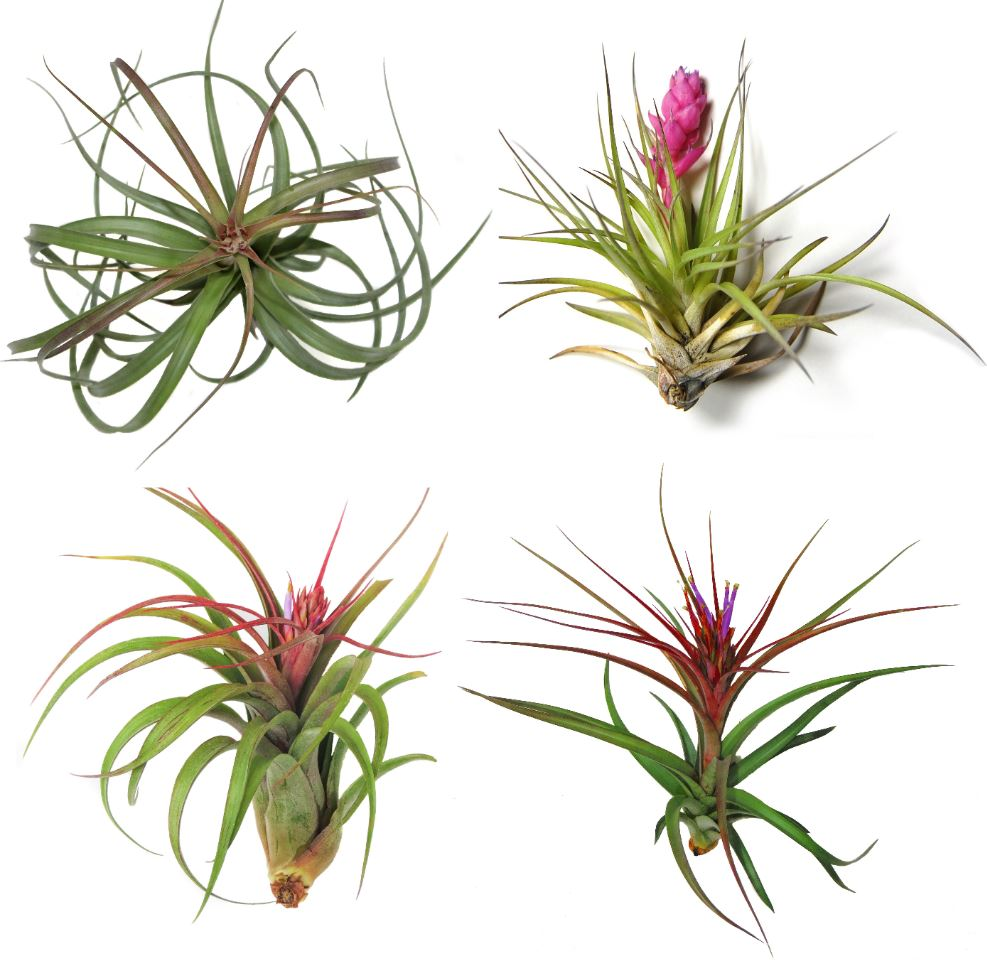 Air plant collection from Air Plant Supply Co.