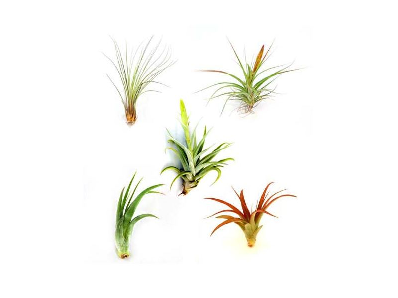 Air plant collection from The Air Plant Shop