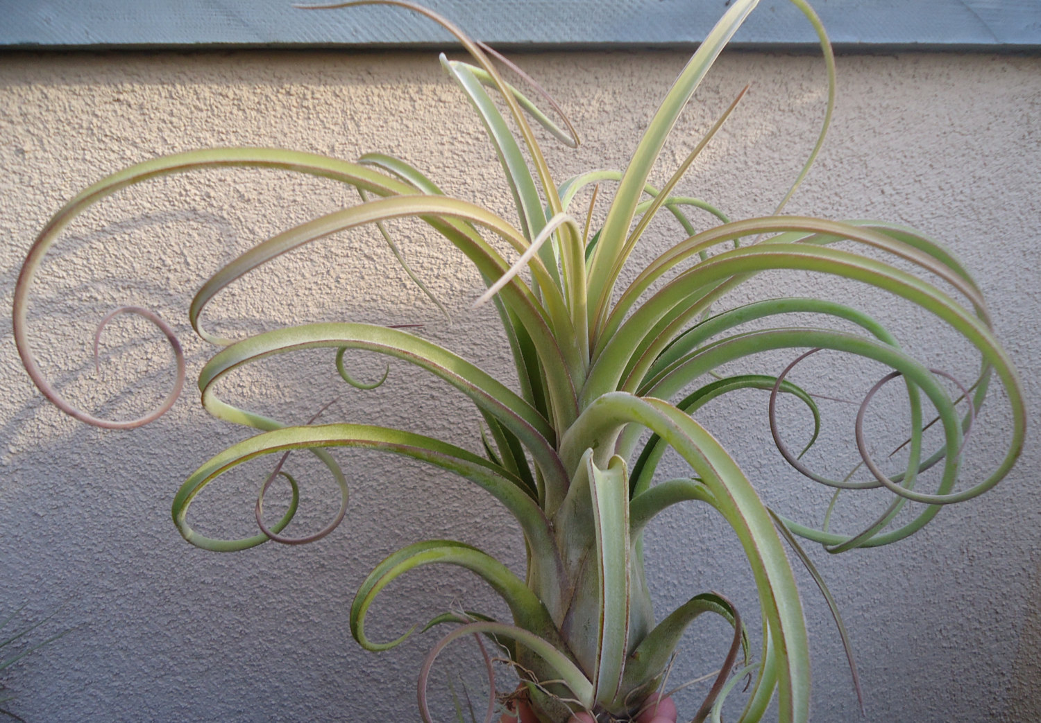 Air plant hybrid from Etsy shop CTS Airplants