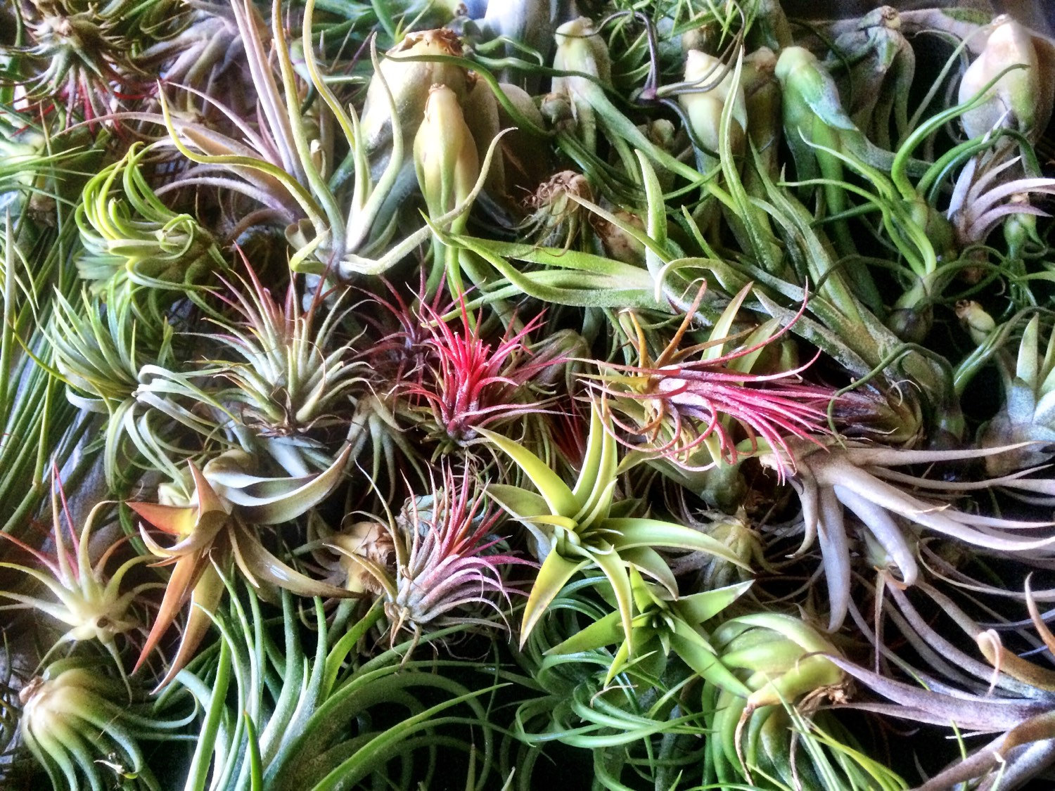 Air plants from Etsy shop Greenwich Cottage 40 Stunning Photos Featuring Varieties and Types of Air Plants