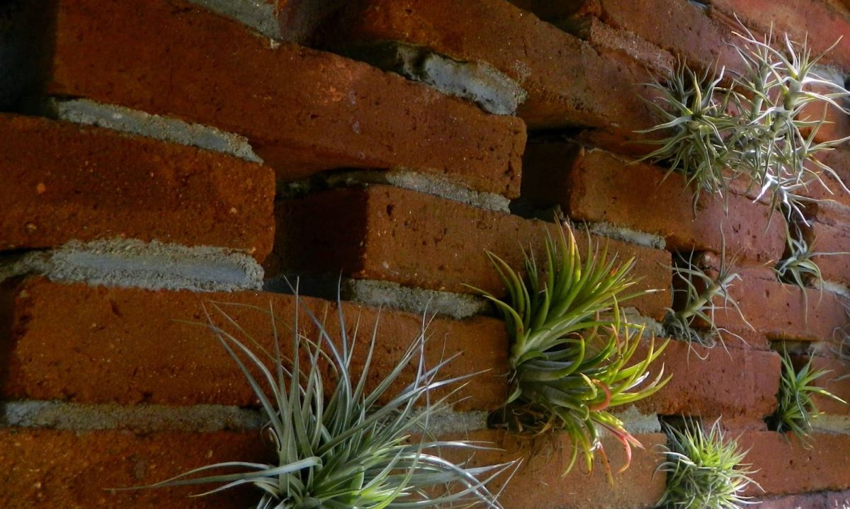 Air plants in a brick wall