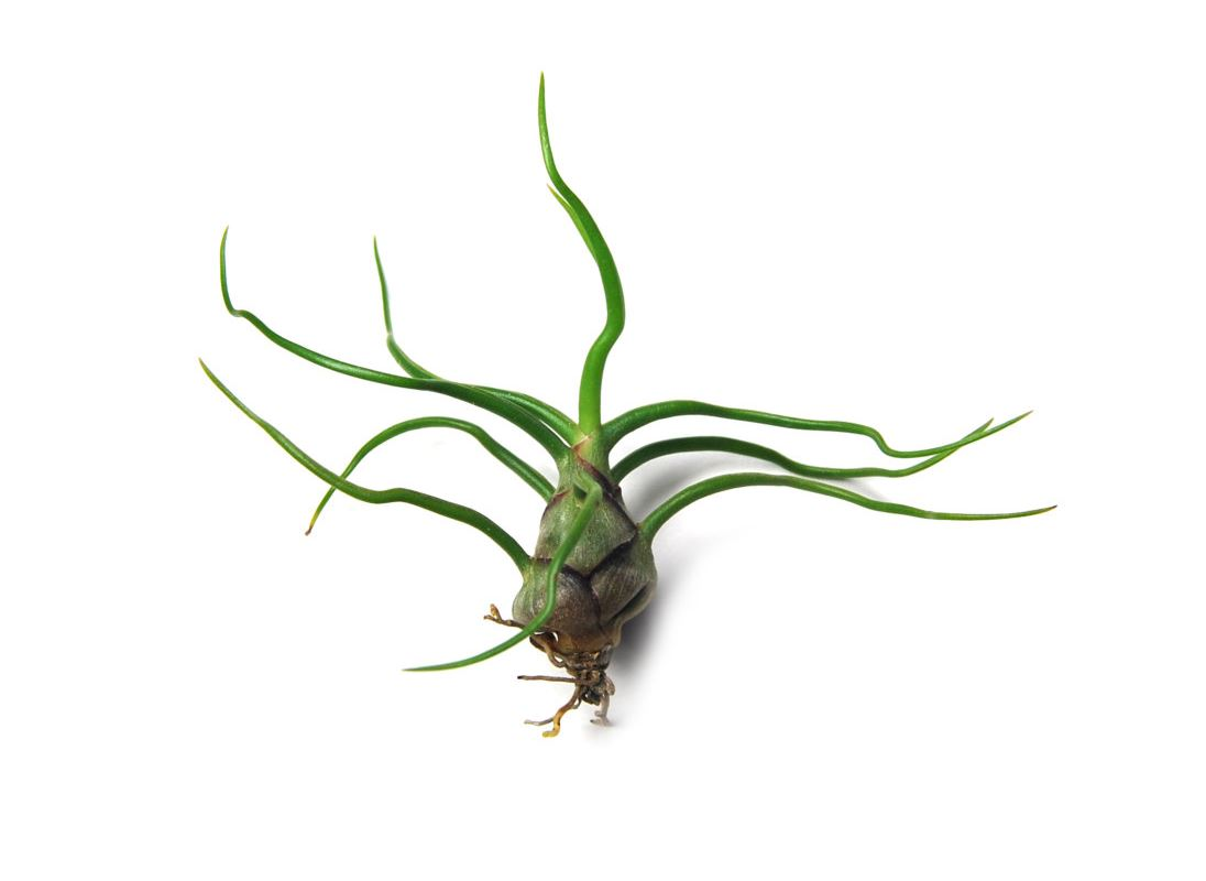 Bulbosa Guatemala from Etsy shop Air Plant Design Center