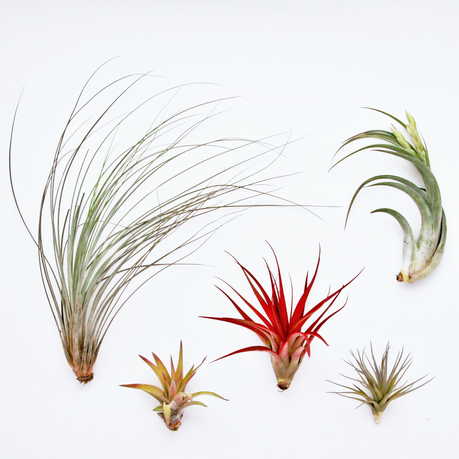 Collection of air plants from Etsy shop Air Plant Design Center