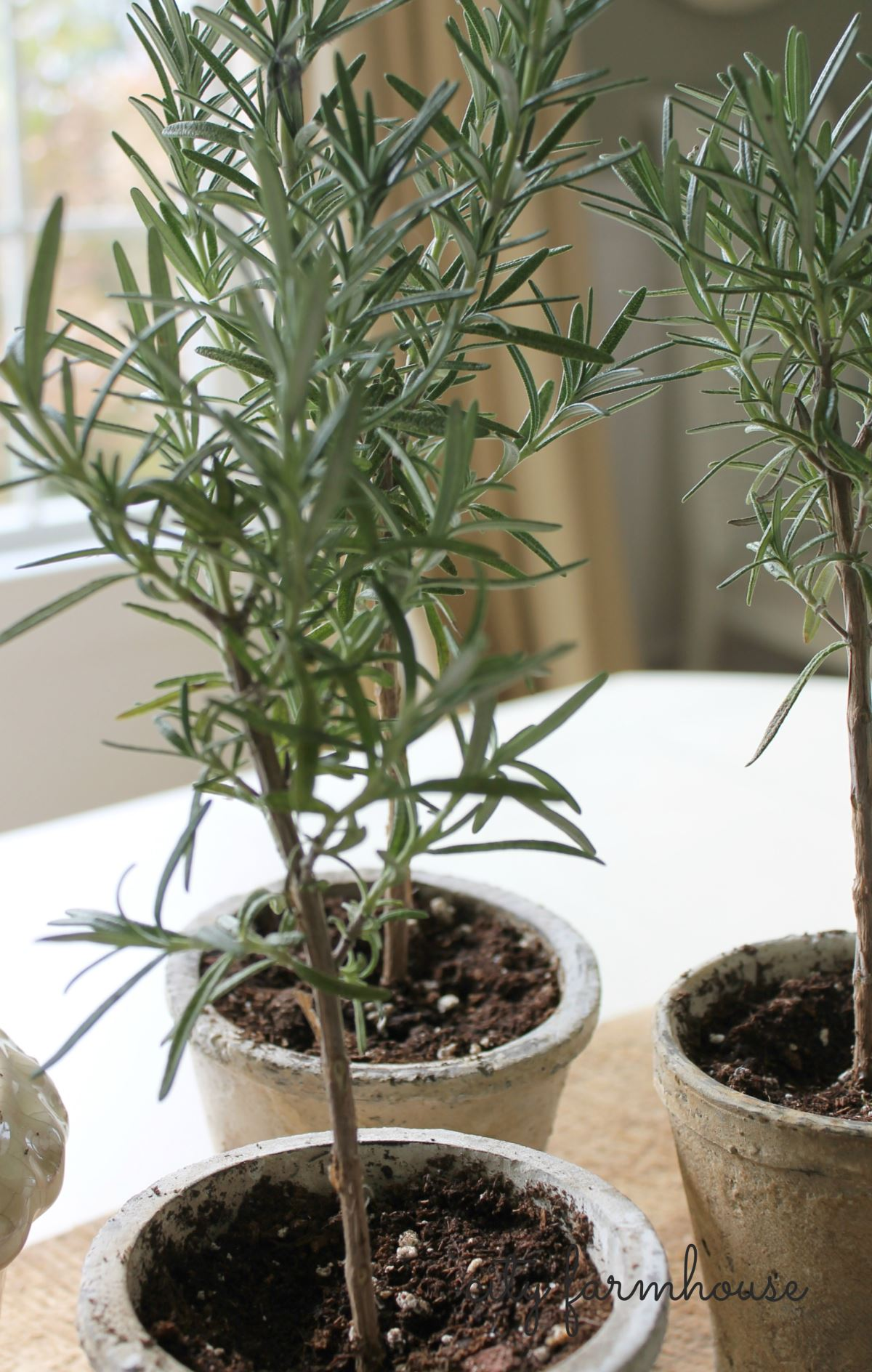 DIY rosemary topiaries from City Farmhouse