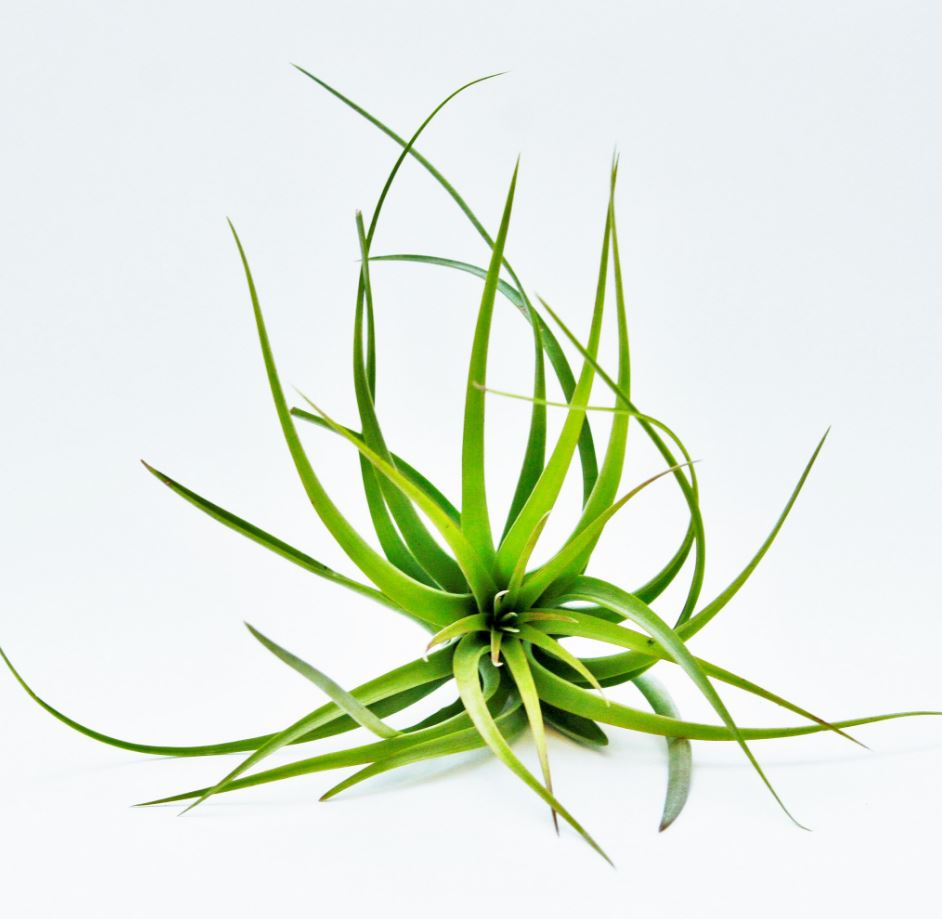 Fasciculata Tricolor air plant from Air Plant Supply Co.