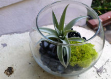 Harrisii-air-plant-in-a-terrarium-centerpiece-217x155