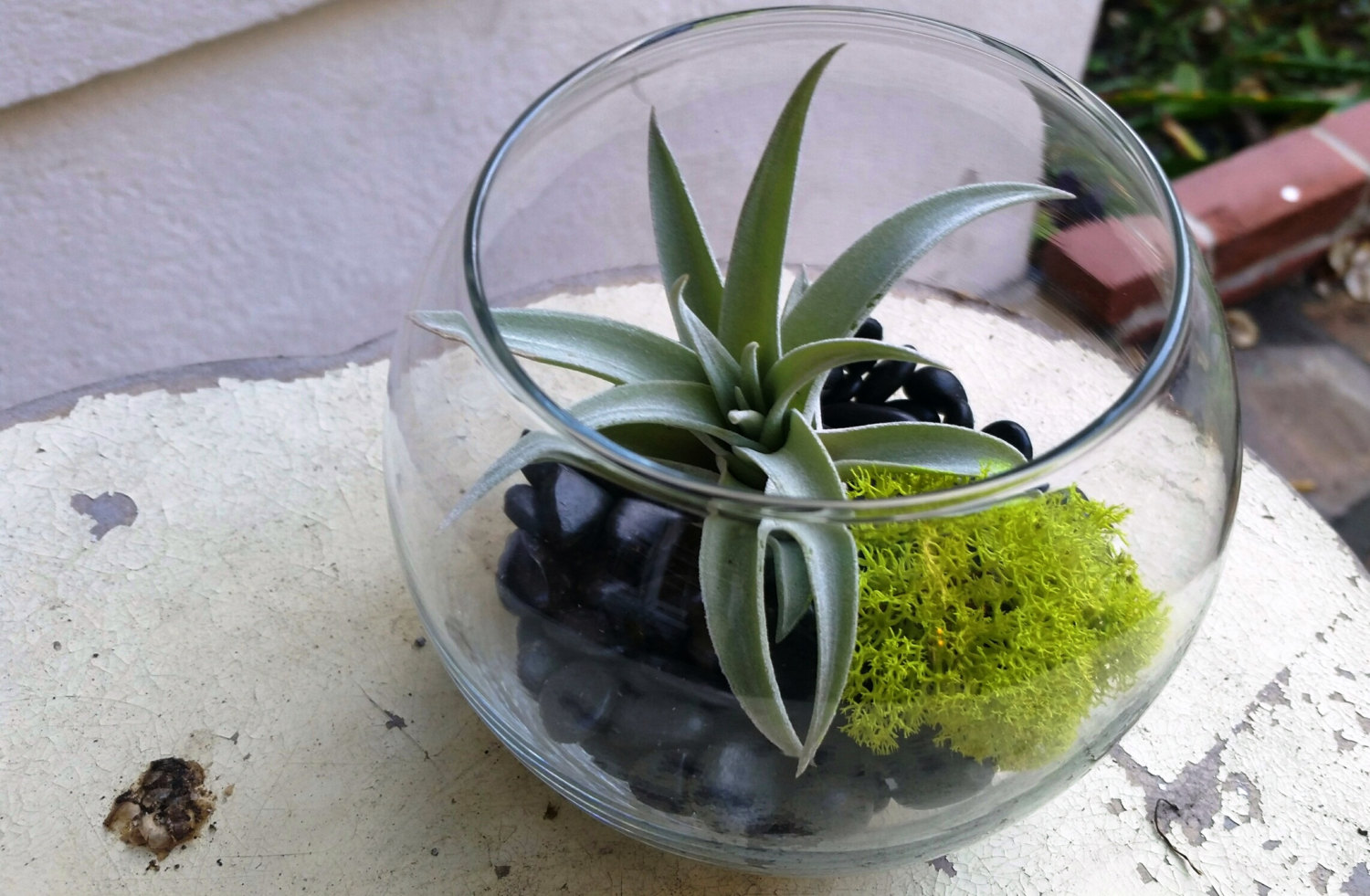 Harrisii air plant in a terrarium centerpiece