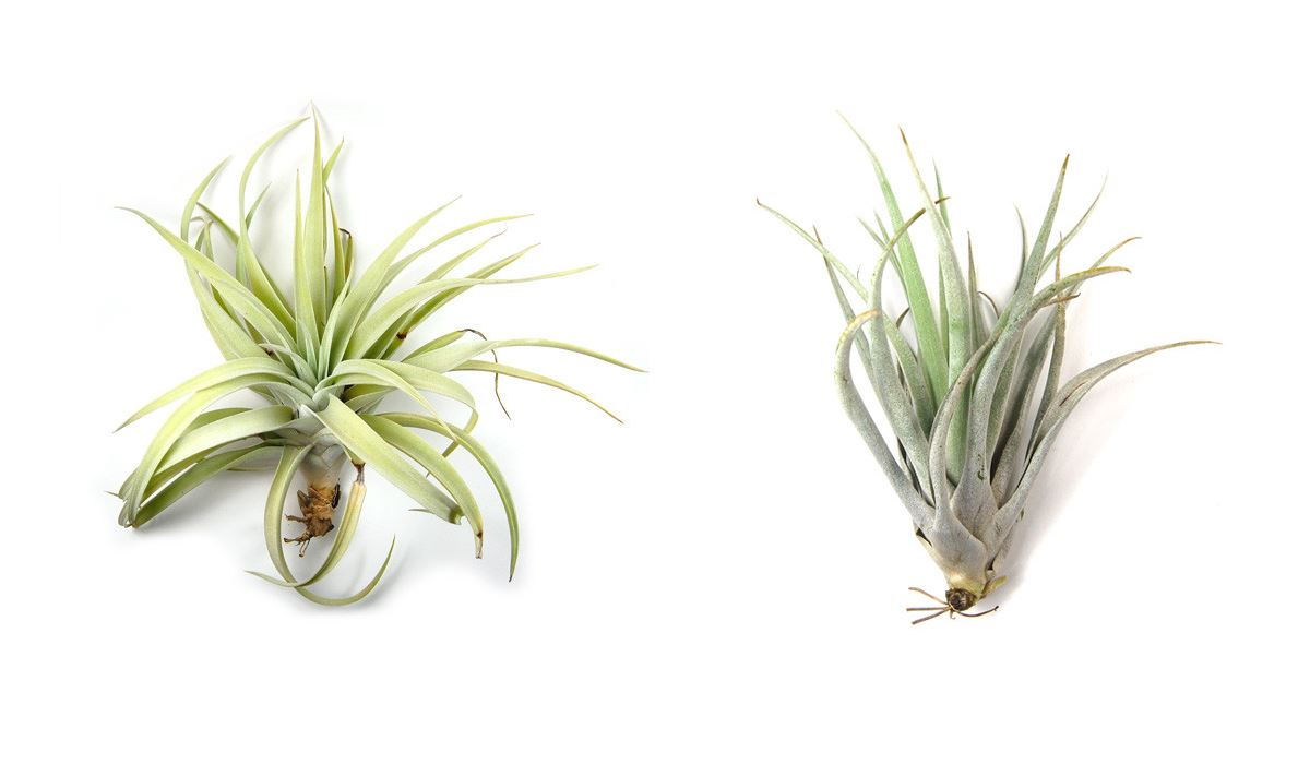 Harrisii air plants from Air Plant Supply Co.