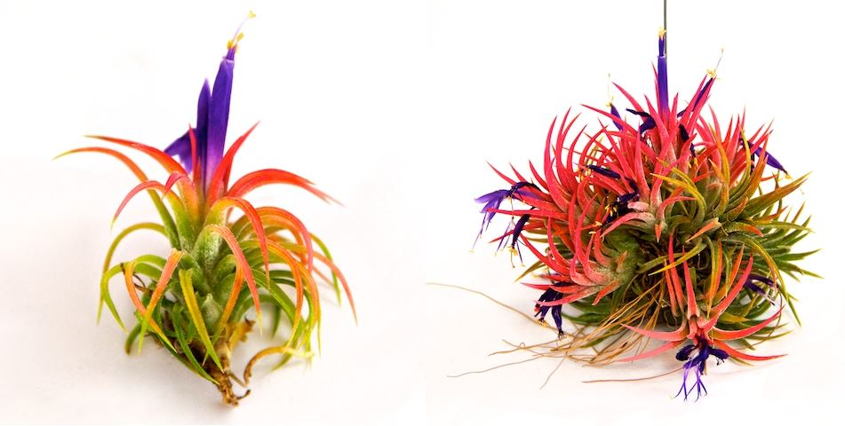 Ionantha Mexican air plants from The Air Plant Shop