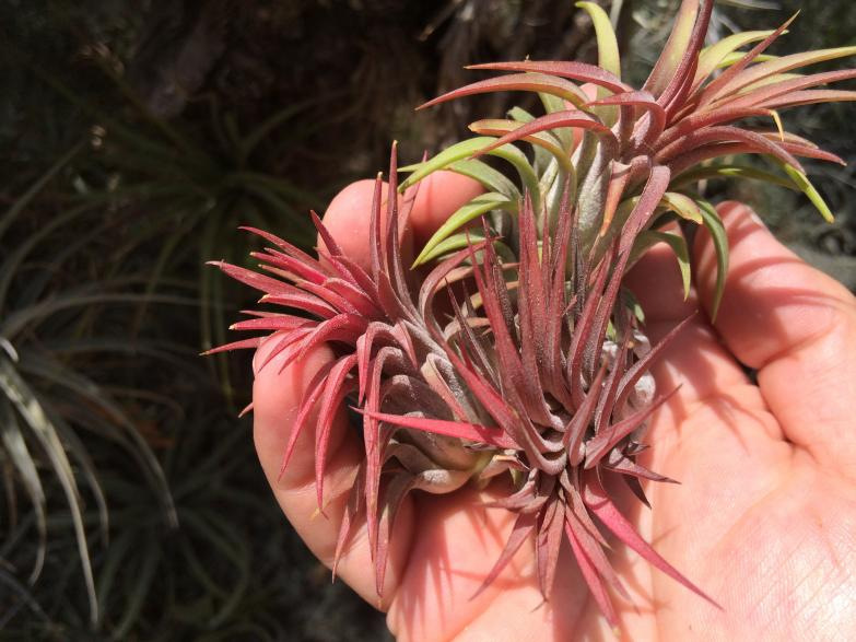 Ionantha Rubra from Wholesale Tillandsias