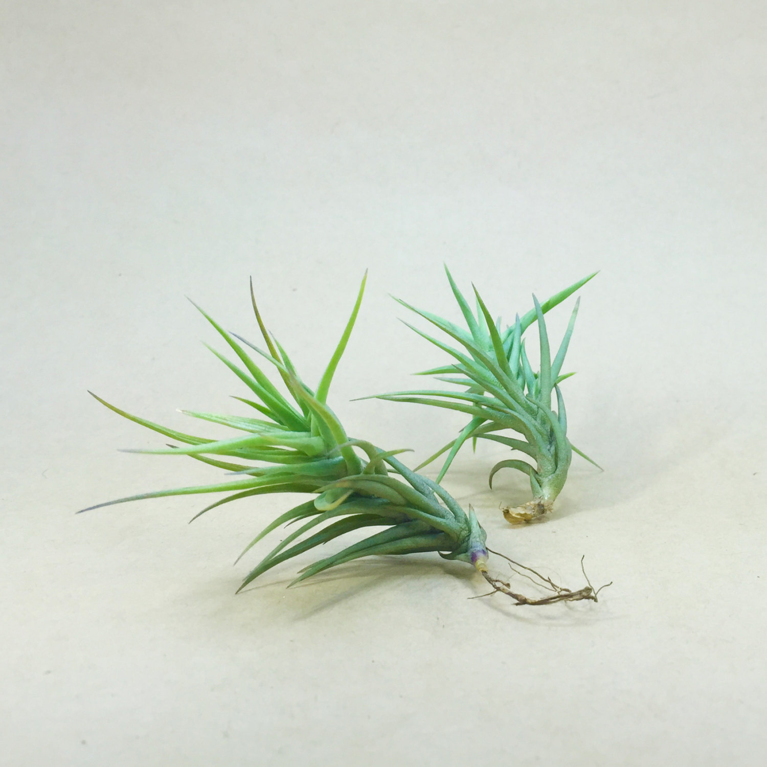 Tillandsia Cocoensis from Etsy shop Hello Tilly