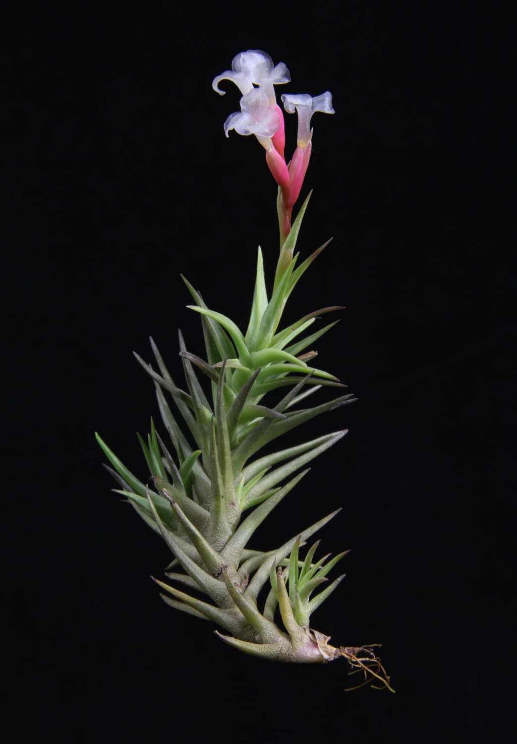 Tillandsia Cocoensis from Etsy shop Plant Oddities