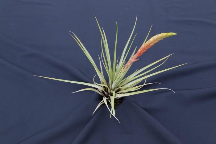 Tillandsia Fasciculata Tricolor from PlantaBrutt
