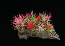 Tillandsia-Ionantha-package-from-Etsy-shop-Bloom-Plants-217x155